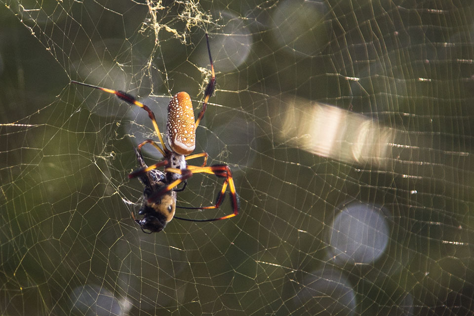 Golden Orb Weaver Spider with a bee in her web